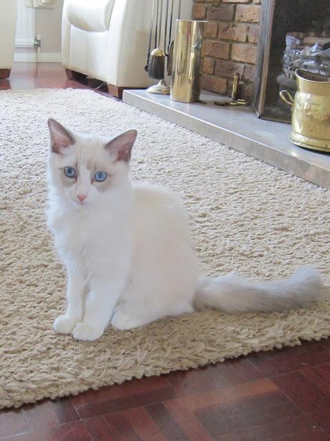My Ragdoll Kitten, Merlin ♥