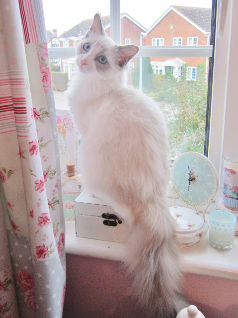 My Merlin Kitten – Growing Quickly ♥