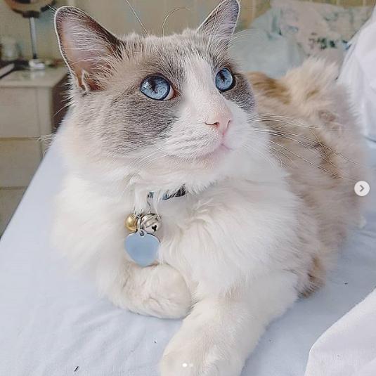 Pethood Stories: Merlin My Ragdoll Cat *